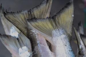 Тематическая иллюстрация. Рыбьи хвосты. Автор фото: Из архива РИА PrimaMedia